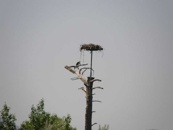 Osprey Nest, Rotary Marsh, downtown