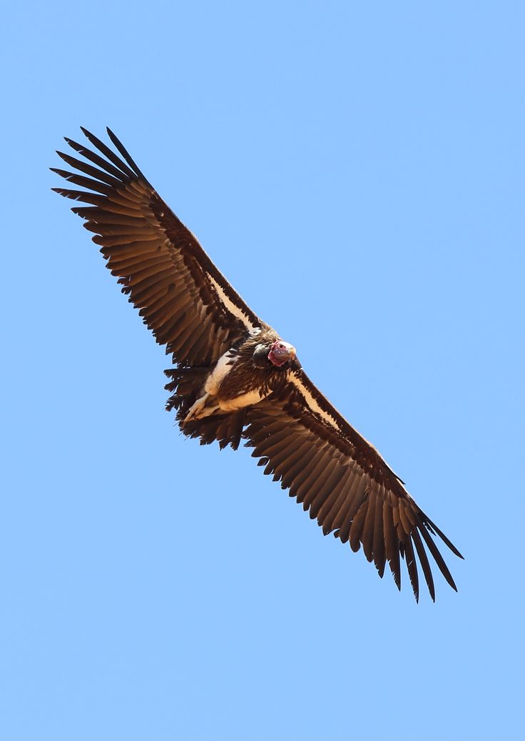 Lappet-faced Vulture © Jonathan Rossouw www.apex-expeditions/expeditions/namibia