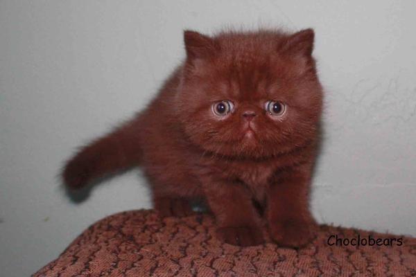 Choclobears Cattery Chocolate Exotic Shorthair Kittens