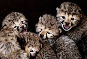 Hilvarenbeek, the Netherlands Five cheetah cubs at the Safaripark Beekse Bergen