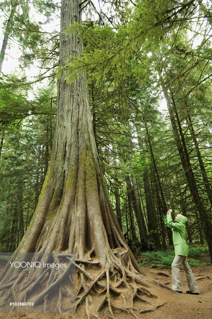 Yooniq images - Woman Taking Picture of Old Growth Tree