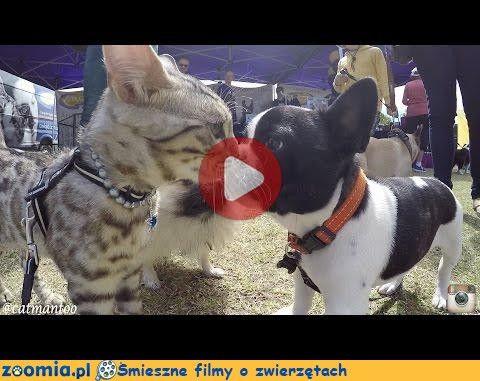 Koci juror « Koty « Śmieszne filmy o zwierzętach - śmieszne koty, śmieszne psy. Zoomia.pl :: Zoomia pl