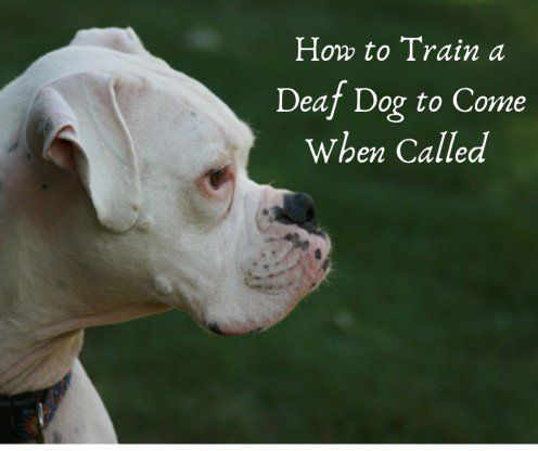 How To Train A Deaf Dog Recall Or To Come When Called Dog