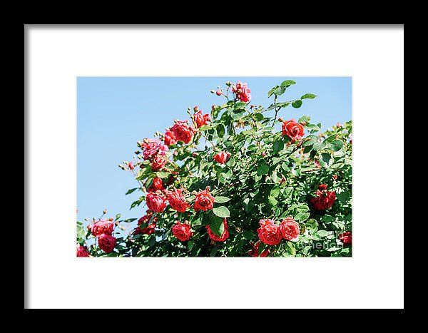 Beautiful Red Roses Garden In Summer Framed Print