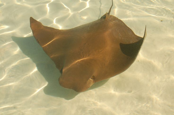 Sting ray at Discovery Cove
