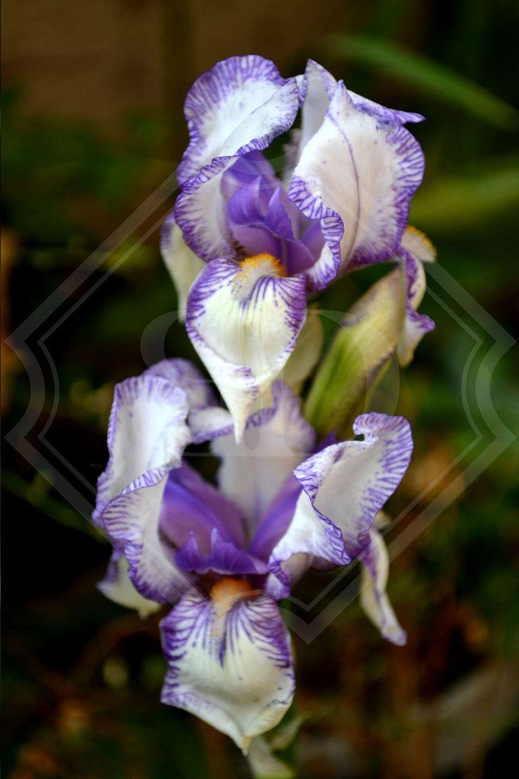 White and purple Iris_Bianca Duvenhage (photographer).