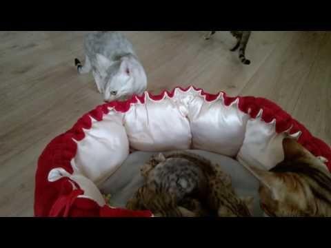 pisica bengaleza pui | categorii pui bengal - FelisBengal®