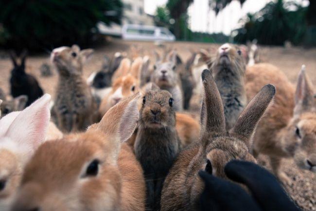 Știai că există o insulă în Japonia care este populată aproape în întregime de... iepuri?