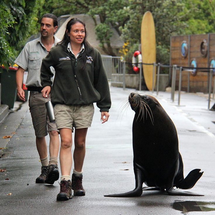 This workout gets Malie's seal of approval! Our big Australian Sea-lion has begun taking regular strolls through the Zoo grounds with keepers.