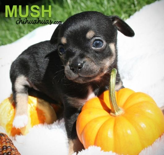 black and brown chihuahua puppies 22 best chihuahua black and brown images on pinterest 2484