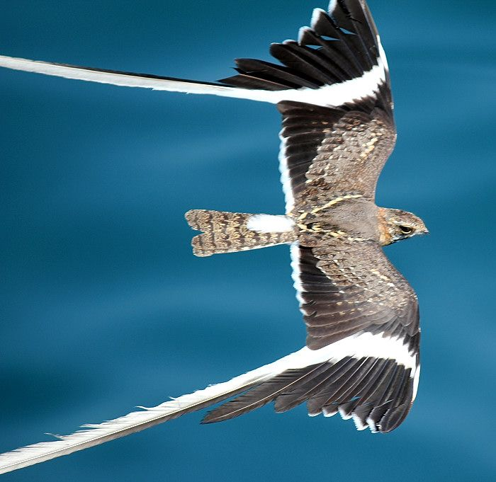 The male pennant-winged nightjar develops spectacular long white wing streamers during breeding season. This image of a breeding male was taken along the eastern shore of Lake Tanganyika in the early morning.