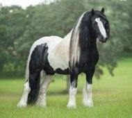 GVR Cuil-Gypsy Vanner stallion