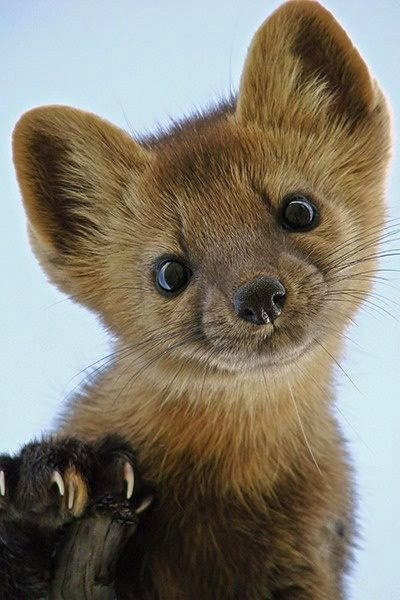Pine Martens fur ranges from brownish to almost black in color. Their throat bib ranges from pale yellow to bright orange - with  vertical black stripes above eyes. This pic is a Baby Pine Marten
