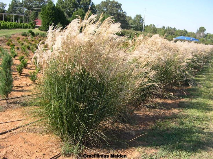 shop miscanthus sinensis 39 gracillimus 39 landscapes pinterest shops nurseries and grasses. Black Bedroom Furniture Sets. Home Design Ideas
