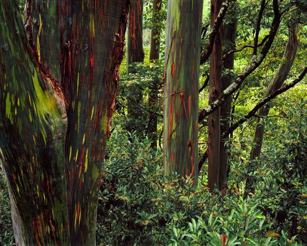 27 Best Rainbow Eucalyptus Trees Images On Pinterest