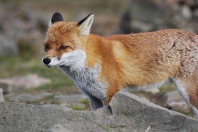 lis #przyroda #zwierzęta #lis #fox #animals #Babia Góra #Beskidy #BPN #Babiogórski Park Narodowy #góry #szlaki górskie #górskie wędrówki #turystyka górska #Poland #Polska
