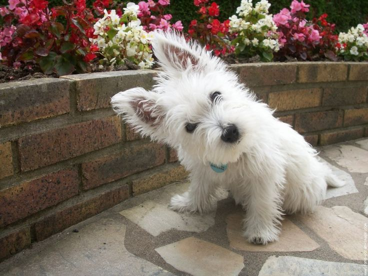 White Scottish Terrier - Bing Imágenes