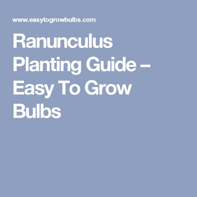 Ranunculus Planting Guide – Easy To Grow Bulbs