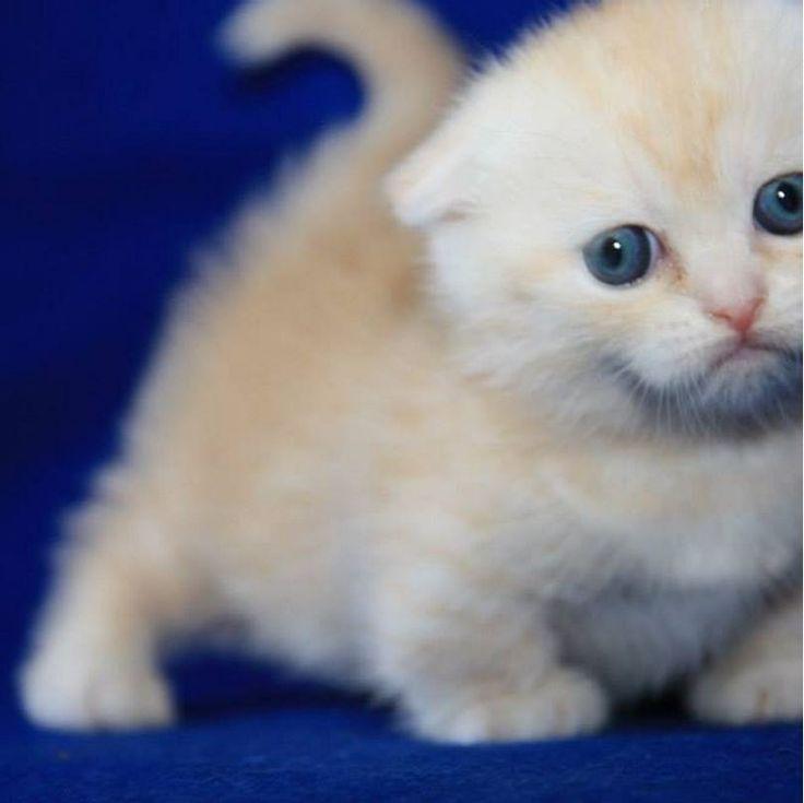 Aw He S Too Cute Cat Cats Kitten Kittens Scottishfold Scottishfoldmunchkin Munchkin Cat Munchkin Kitten Scottish Fold