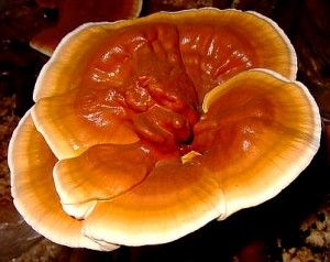 Reishi --- A well known benefit of consuming Reishi is it's beneficial effect on the immune system. It promotes a strong immunity to disease. While some pharmaceutical medicines lose their effectiveness after a time, Reishi does not. It can be taken daily with no build-up of tolerance.