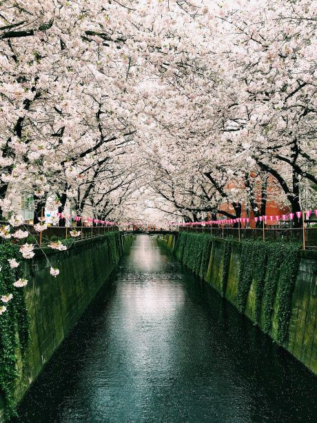 Cherry Blossoms on the Meguro River in Tokyo.