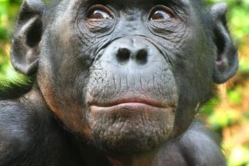 Female Bonobos brag during social-climbing sex by Jennifer Welsh, LiveScience
