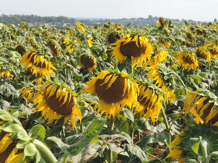 Magnifique champ de tournesol à Foulayronnes (Lot-et-Garonne)...