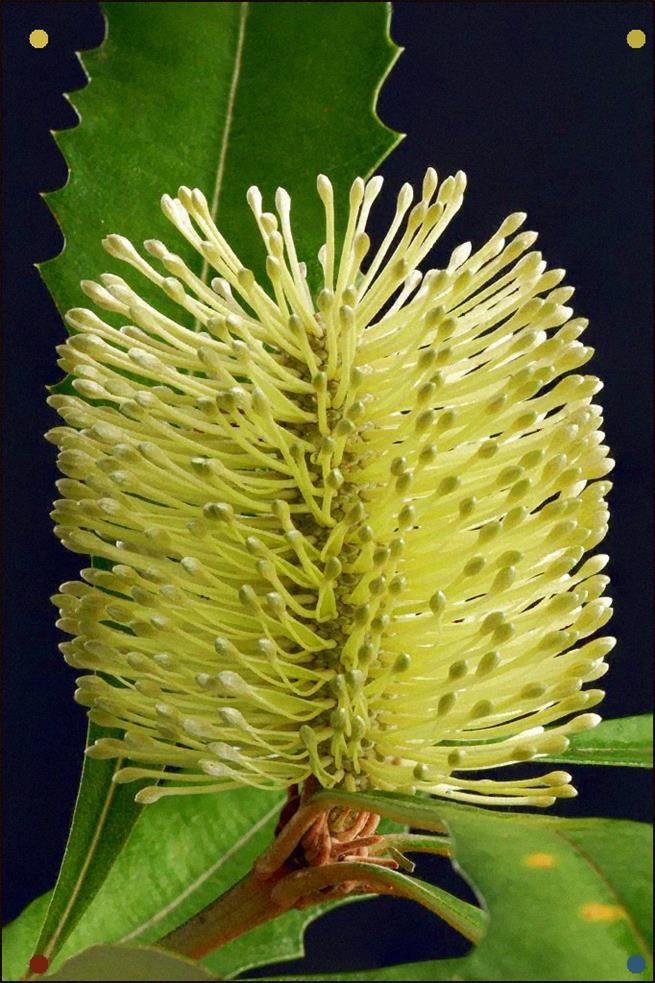 Banksia Integrifolia Subsp Integrifolia Garden Flower Beds Flowers Flower Garden