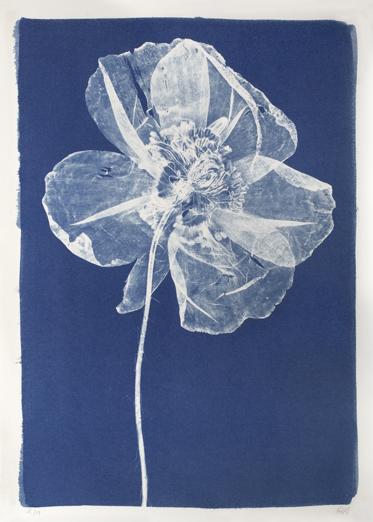 Large Poppy Cyanotype by Henrietta Molinaro at Wilson Stephens & Jones http://www.wilsonstephensandjones.com