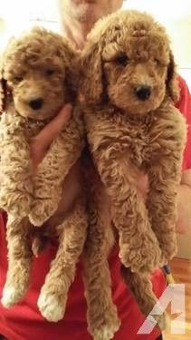 Standard Poodle Puppies for Sale in Alexandria, Indiana Classified ...