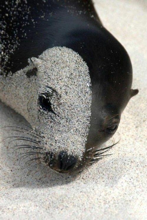 Sand: Animal Photography, Sea Lions, The Ocean, Beautiful, Phantom Of The Opera, Sandy Seals, Sands Art, Sealion, Yin Yang