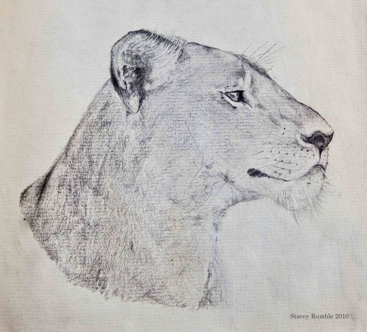 Lioness - Pencil Drawing - Lion - By Stacey Rumble