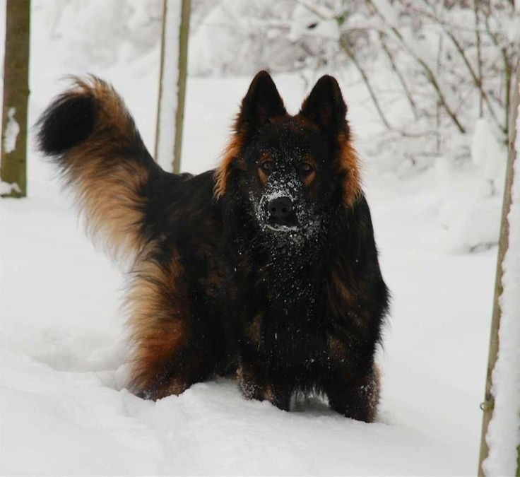 13 best GSD images on Pinterest | German shepherds, Long coats and ...