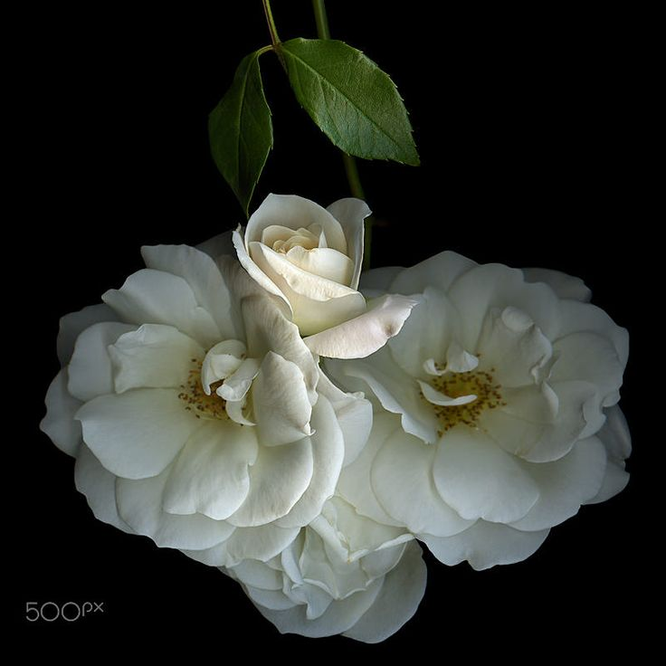 WHITE ROSE... YORKSHIRE DAY by Magda Indigo on 500px