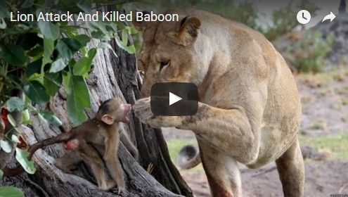 Beautifulplace4travel: Lion Attack And Killed Baboon