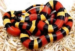 Serpiente de coral. Las serpientes de coral o rabo de ají son un grupo de serpientes venenosas de la familia Elapidae propias de zonas tropicales. Se caracterizan por sus vivos colores, entre los que predominan amarillo, rojo y negro.