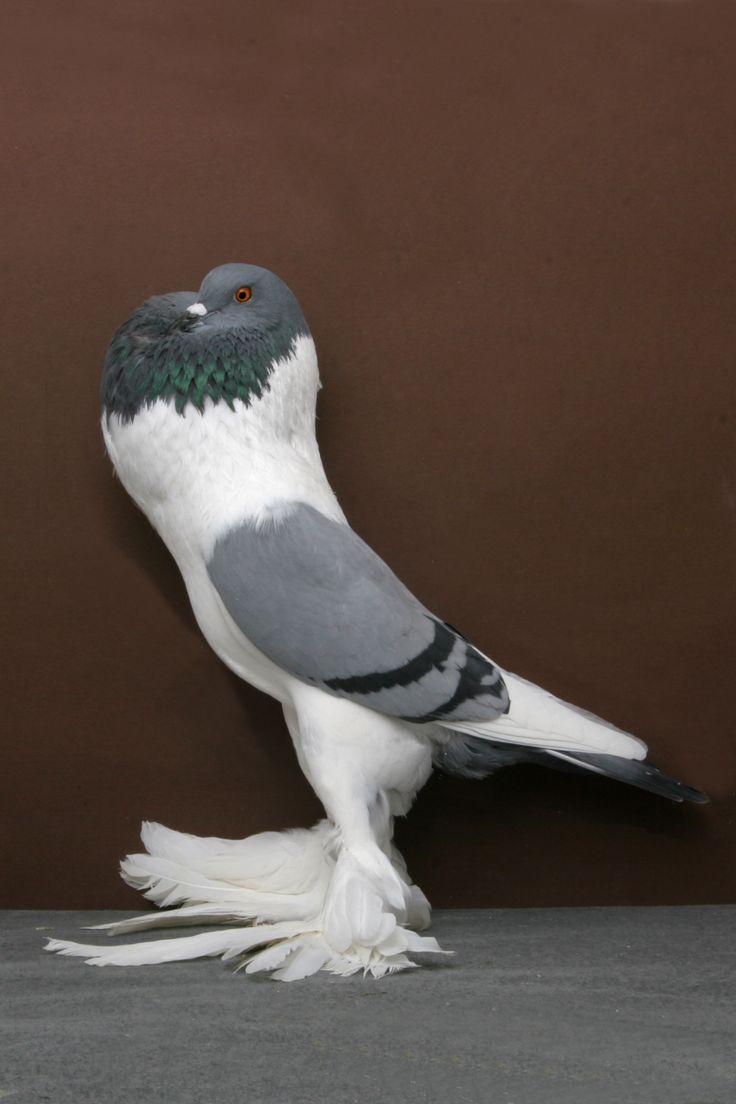 148 best pigeons images on pinterest pigeon pigeon breeds and