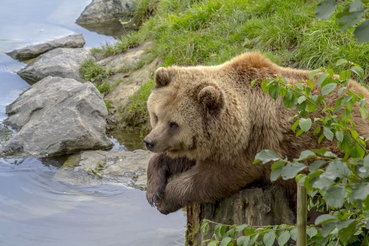 Brown Bear chillin in Bavaria/Germany .  The brown bear's principal range includes parts of Russia, the United States (mostly in Alaska), Canada, the Carpathian region (especially Romania, but also Ukraine, Slovakia, Poland and so on), the Balkans, Sweden and Finland, where it is the national animal.  The brown bear is the most widely distributed of all bears.