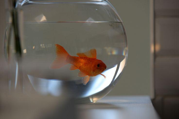Les 25 meilleures id es de la cat gorie bocaux de poissons for Nourriture poisson rouge carotte