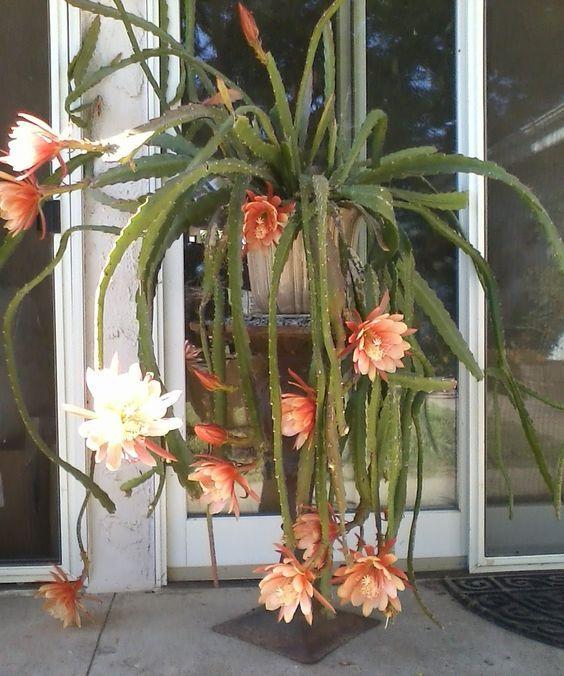 Flowering Orchid cactus care