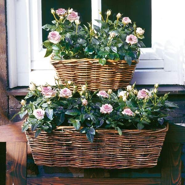 keimzeit saatgut balkonk sten rosia flowers pinterest balkonk sten gartendeko und balkon. Black Bedroom Furniture Sets. Home Design Ideas