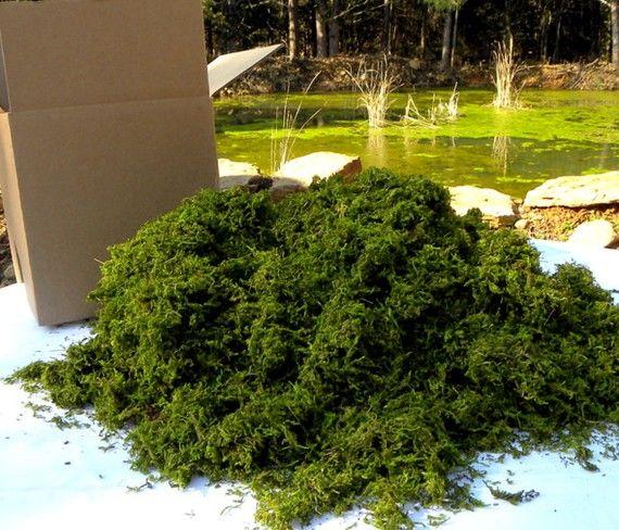 BULK Moss Preserved box filled with no less than 24 Oz ,Sphagnum Moss- Wedding Decor,Basket filler,woodland moss-Preserved moss for baskets