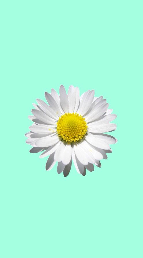 White Daisy Mint Wallpaper