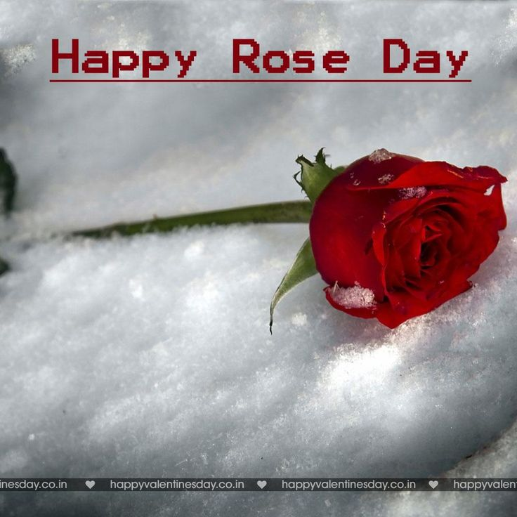 Rose Day - images for happy valentines day - http://www.happyvalentinesday.co.in/rose-day-images-for-happy-valentines-day/  #FreeTalkingEcards, #FreeValentinesDayCard, #HappyValentineDayGreetings, #HappyValentinesDayLetter, #HappyValentinesDayVideos, #ThankYouCardsFree, #ValentinesCard, #ValentinesECard, #ValentinesGreetings