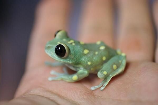 Cute Yellow Dot Frog. What? There surely aren't any words which quite capture this amount of cuteness. ❤️