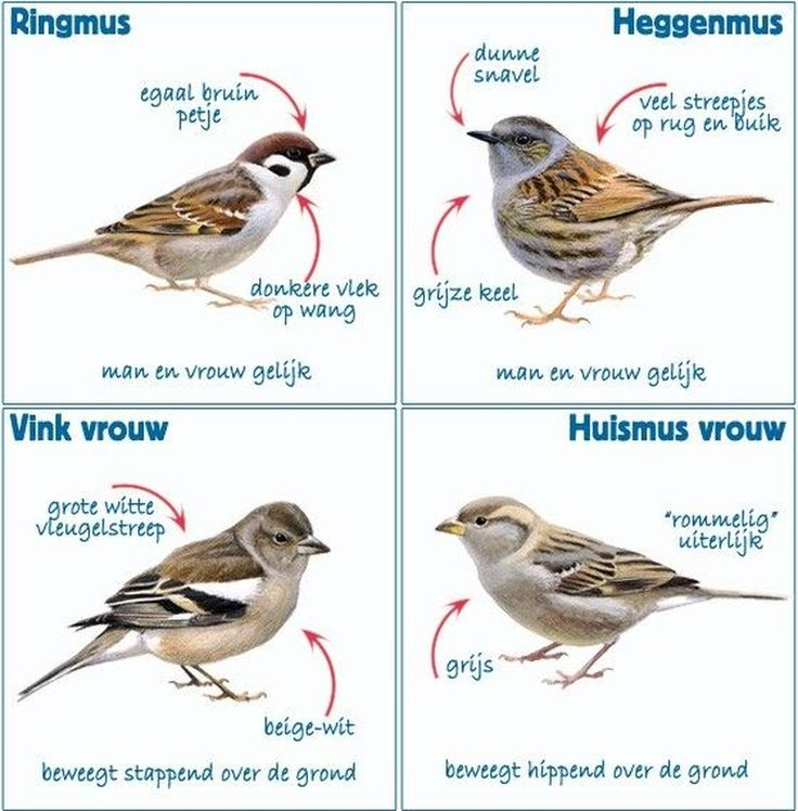 Herkenningstips ringmus, heggenmus, vrouwtje vink en vrouwtje huismus