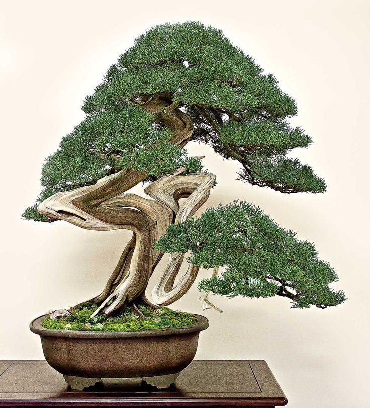 2181 best gardening bonsai trees penzai images on for Bonsai indoor