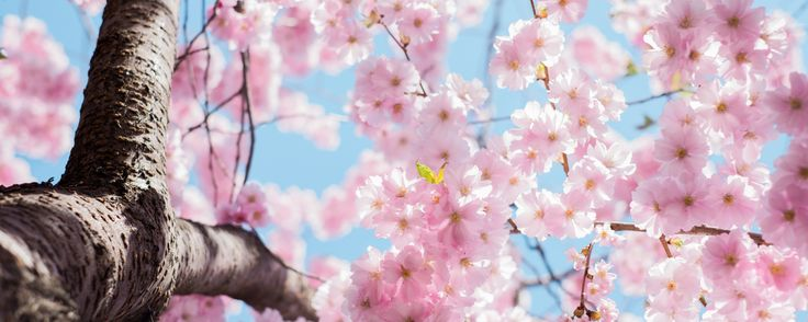 We've rounded up 20 photos of cherry blossoms in Toronto. So pretty!