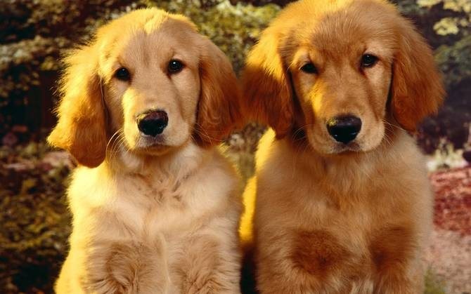 English cocker spaniel Golden Retriever - Ultimate-Wallpaper.com