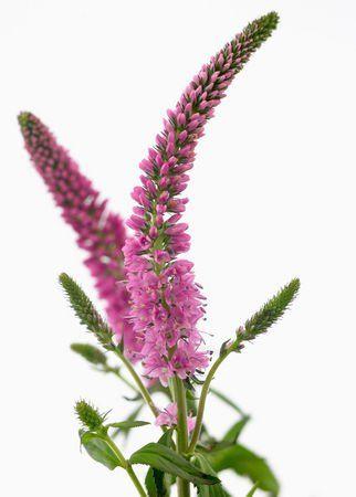 Veronika: Hűséges vagyok! A veronika (Veronica) az ajakosvirágúak (Lamiales) rendjén belül, az útifűfélék (Plantaginaceae) családjának egyik nemzetsége mintegy 250 fajjal, amelyek közül a legismertebb az orvosi veronika (Veronica officinalis). Három korábbi nemzetség (Veronica + Pseudolysimachion + Veronicastrum) összevonásával alakult ki. Korábban a tátogatófélék (Scrophulariaceae) családjába sorolták